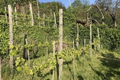 Auch heute noch wird Weinbau am Robberg betrieben.